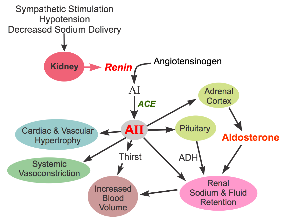 Concept Map Renin Angiotensin Aldosterone Mechanism.Cv Pharmacology Angiotensin Converting Enzyme Ace Inhibitors